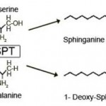Sphingoloid de-novo synthesis is initiated by the condensation of an activated fatty acid (normally palmitoyl-CoA) and L-serine to form sphinganine.  This reaction is catalyzed by the enzyme serine palmitoyltransferase (SPT).  In HSAN1 the SPT shows a shift in substrate specificity to alanine which results in the formation of an atypical class of deoxy-sphingolipids.  Nomenclature: the number of hydroxyl groups is indicated by m (mono-) and d (di-) followed by the number of carbons.  The second number indicates the double bonds.